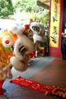 The dancing lions' message of good fortune