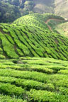 Rolling hills of a tea plantation in the Cameron Highlands