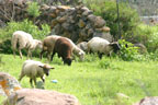 Flocks of sheep graze the slopes of the Picachos