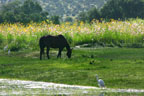 A horse at pasture in Alcocer